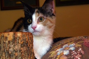Claudia Jean, the Calico Cat