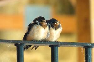 Fledgling Barn Swallows