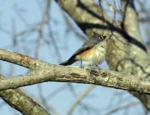 The Glorious Tufted Titmouse