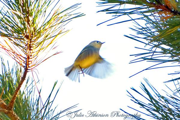 Warbler Dance