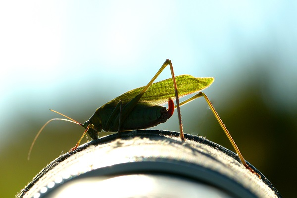 The Common True Katydid - Helping me with my photography last summer.