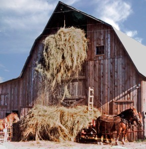 Putting loose hay in the barn.