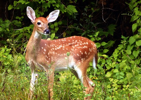 White-Tailed Deer Fawn II