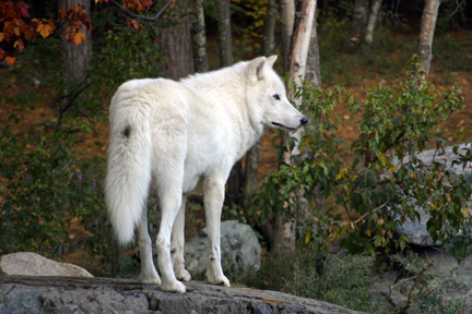 Shadow - Arctic Wolf