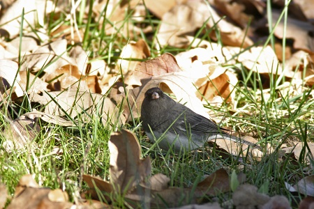 Junco in the Sun