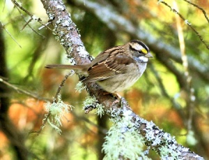 White Throated Sparrow (2009)