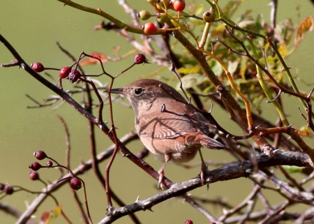 October 3 - House Wren