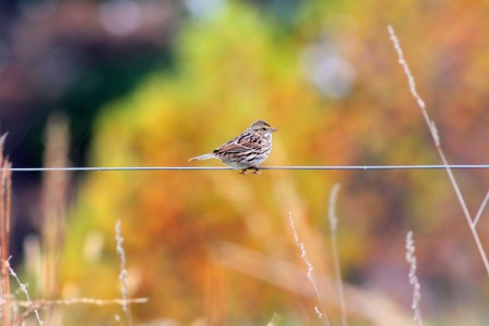 The Tease (Savannah Sparrow)