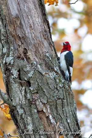 The Reward (Red-Headed Woodpecker)