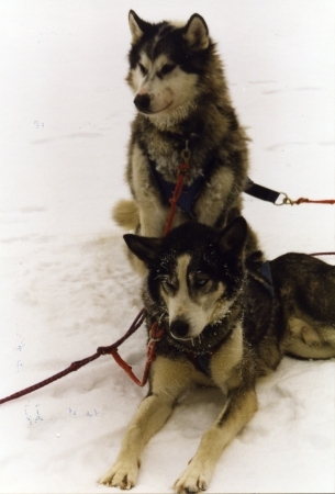 Our Sled Dogs