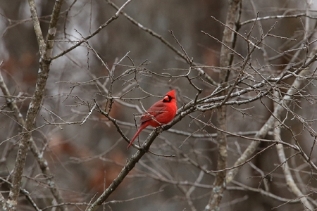 The Color of Joy - A Northern Cardinal on a dreary day.